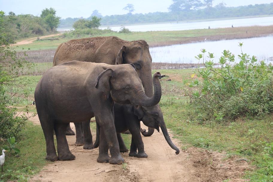 """Tierische Begegnungen im """"Udawalawe Nationalpark"""" und """"Elephant Transit Home"""""""