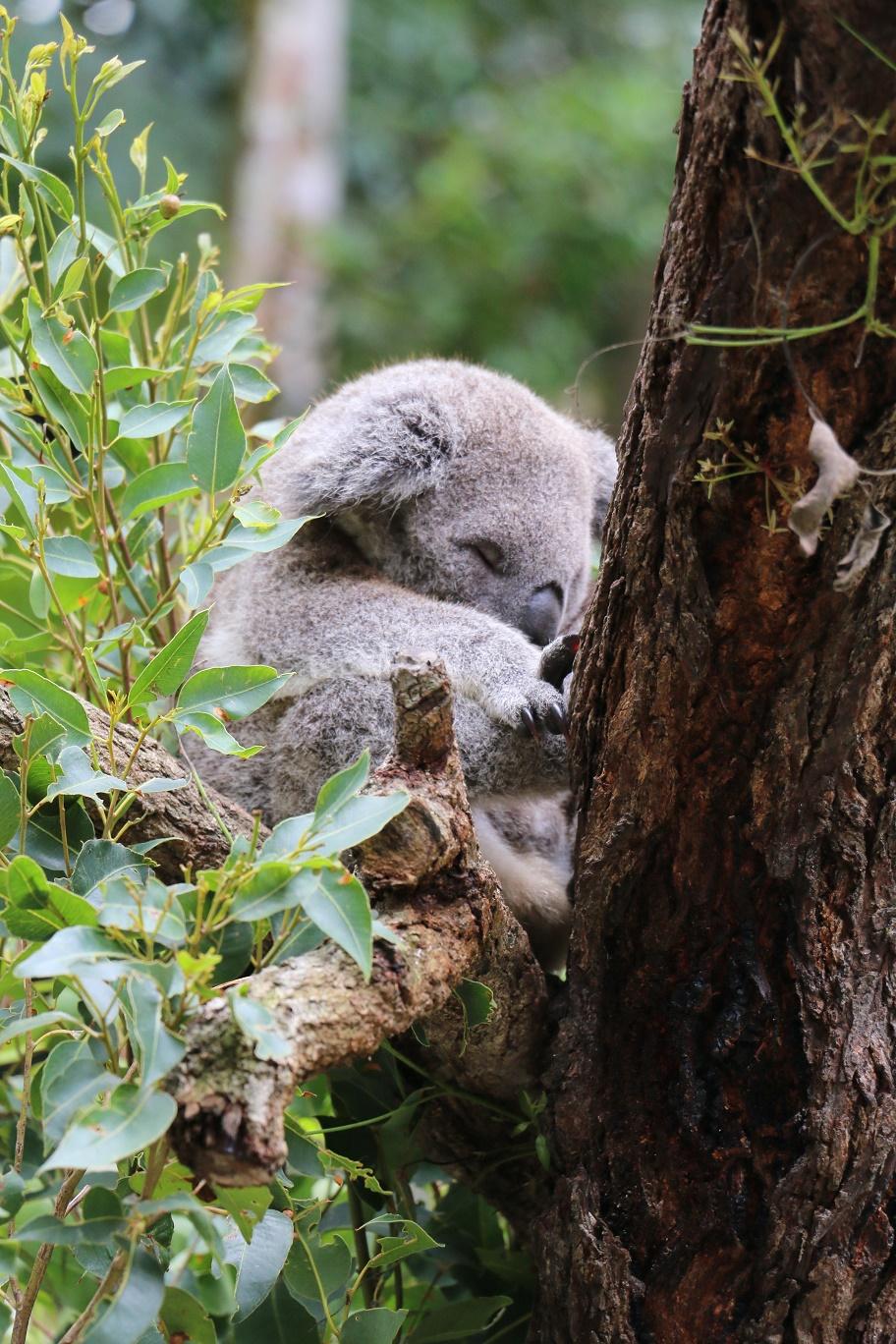 kuranda-koala-gardens-4-thebraidedgirl