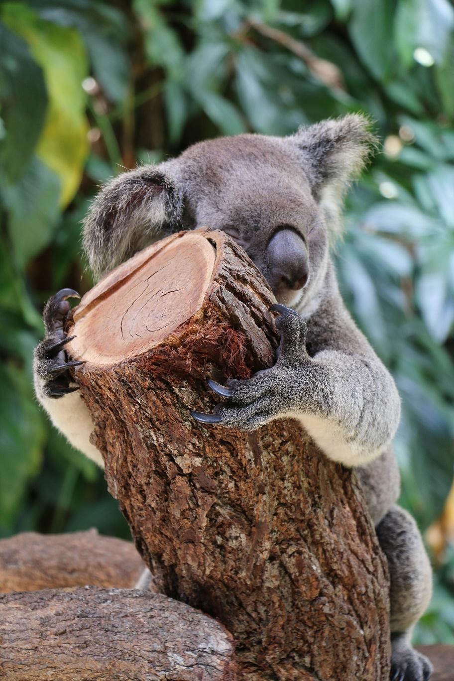 kuranda-koala-gardens-5-thebraidedgirl