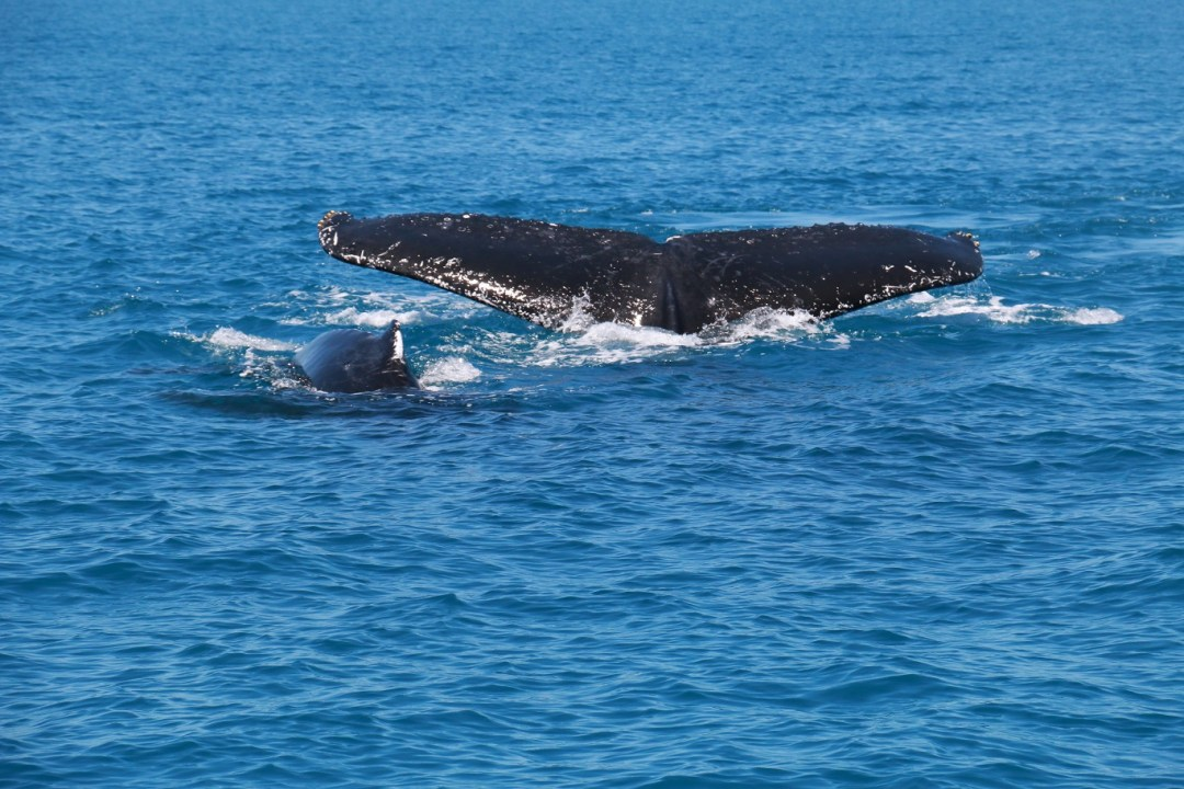 whale-watching-hervey-bay-2-thebraidedgirl