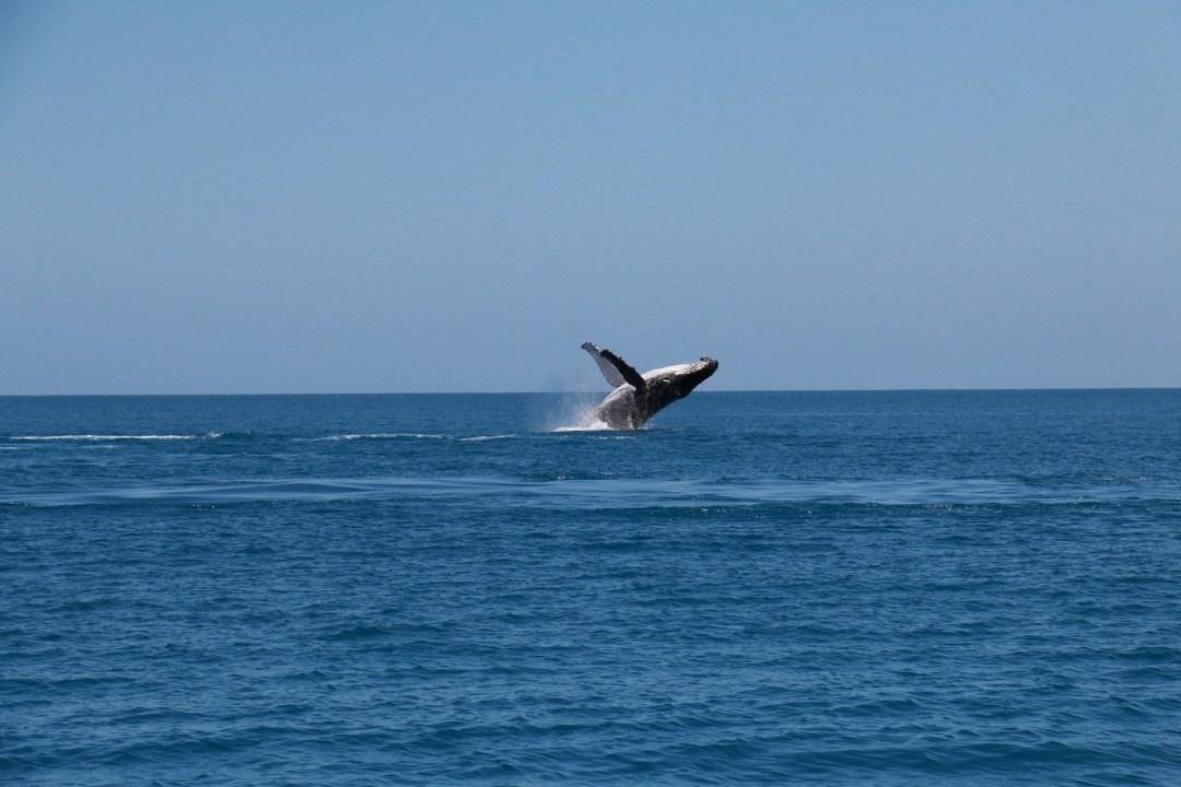 whale-watching-hervey-bay-4-thebraidedgirl
