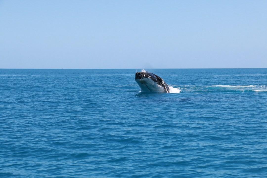 whale-watching-hervey-bay-8-thebraidedgirl