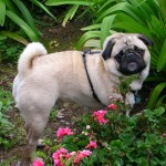 Observe the majestic pug his natural habitat, the flower garden.