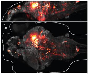 The brain of a zebrafish larvae – imaged by light-sheet microscopy. From Ahrens et al. Nature Methods 10: 413-420.