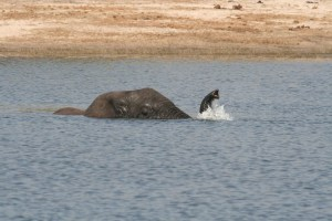 Elephant_snorkeling