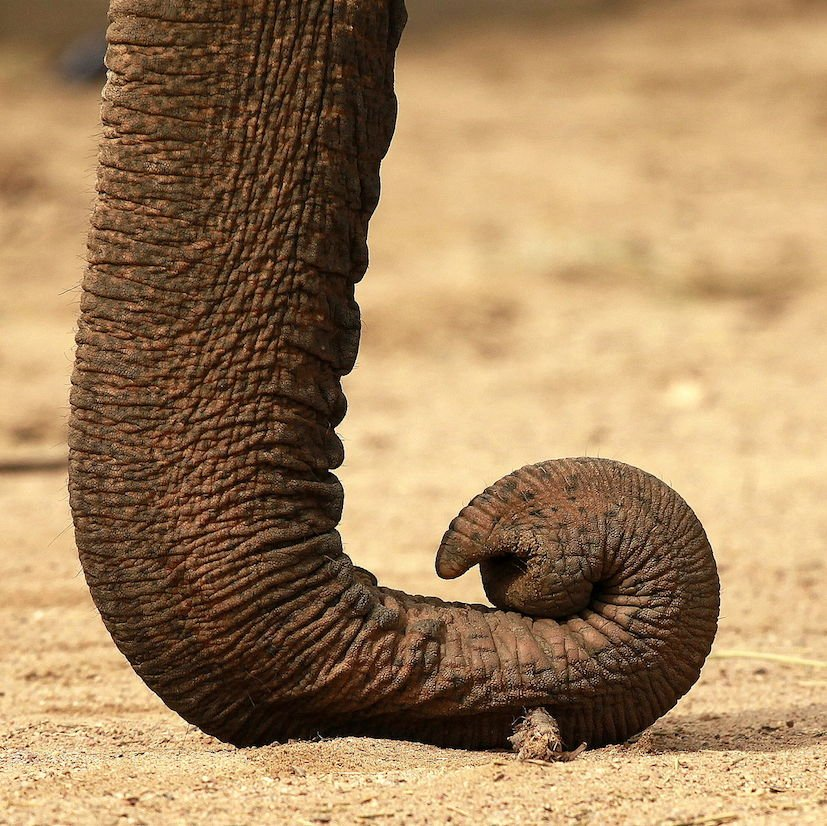 The elephant: the largest living land animal – The Brain Bank North West