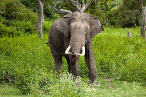 Elephas_maximus_(Bandipur)