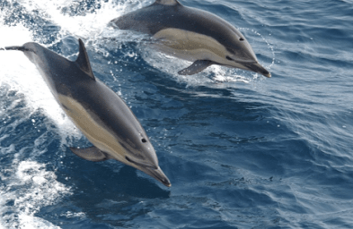 The Common Dolphin. Photo Credit: NOAA NMFS via Wikimedia Commons
