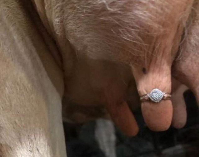 Today In Weird News (Yes It's Back): Is Putting A Wedding Ring On An Udder Weird?