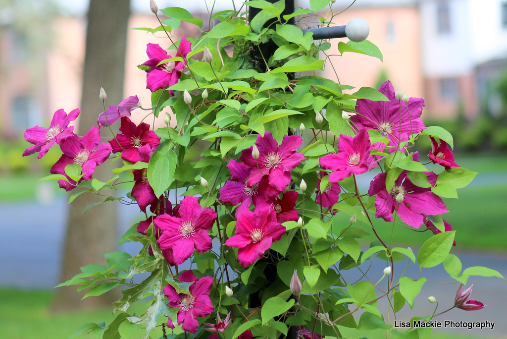 clematis_pink_ green_ color_inspiration