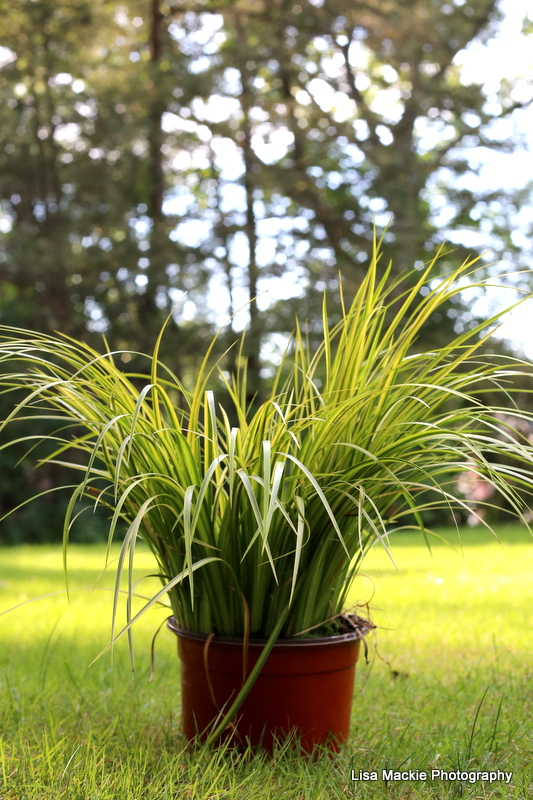 green_ornamental_grass