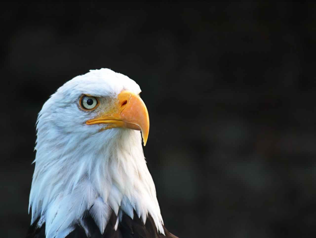 american eagle photo