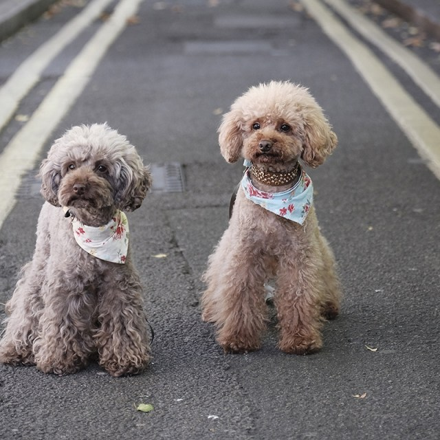 Cambridge street with pet poodle dogs