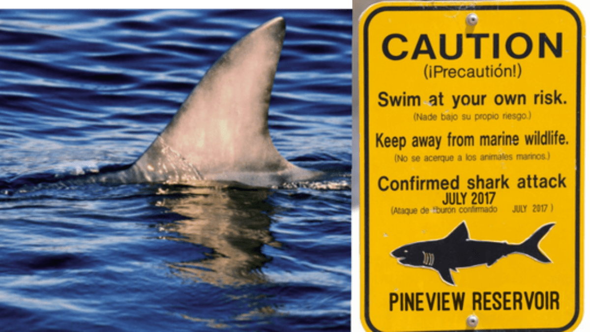 Bull Sharks Illegally Introduced To Pineview Reservoir – The