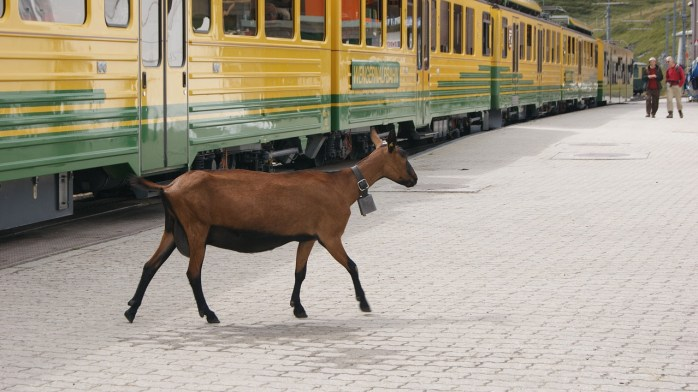 A goat on the train? Ah well, anything can happen. I've seen worse. Swans for example!