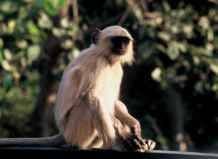 Huge monkeys at the Ranthambore National Park, India.