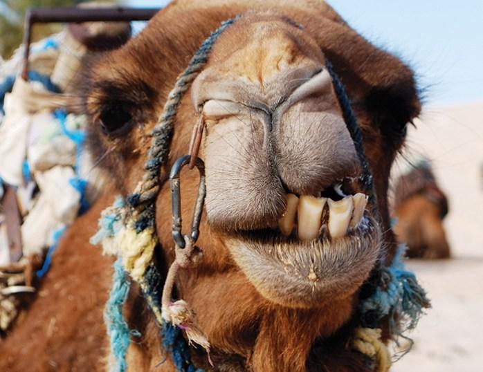 A camel in the Tunisian Sahara Desert.