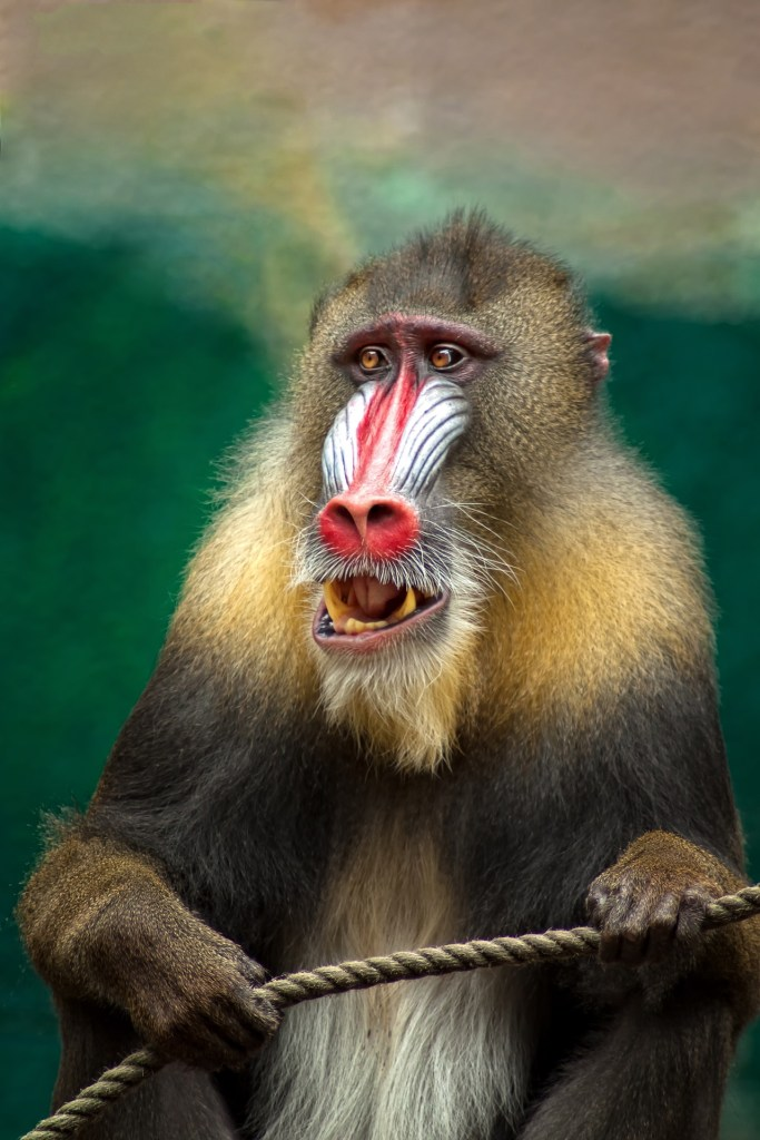 A mandril baboon in Botswana!
