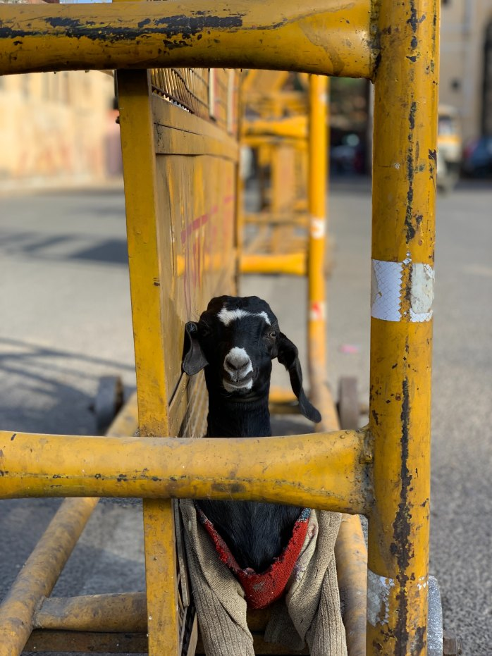 goat; animal; baby goat; kid goat; pet goat; pet; local animal; Indian animal; Indian culture; local culture; Jaipur; Pink City, Rajasthan; Land of Kings; heritage; India; Indian