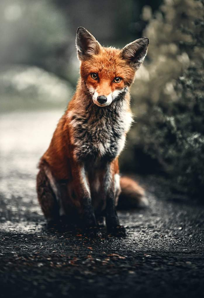 fox; animal; predator; urban living; garden; fox in garden; at home; fox in Berlin; This is my Berlin; in Berlin; in Prenzlauerberg; Prenzlauerberg; Prenzlauer Berg; Berlin Prenzlauerberg; Pankow; Berlin; Germany; travel; Europe;