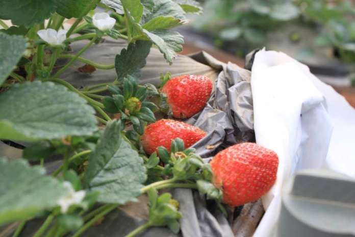 strawberry-farm-dalat-thebroadlife-travel-vietnam
