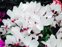 white-orchid-flowers-thebroadlife-travel-wander-hagleypark-newzealand