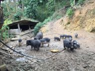 black pigs raised by Mrs. Phau's family
