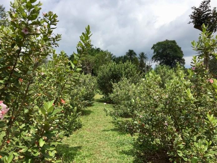 sim trees in manufacturer's garden, Phu Quoc Island, Vietnam