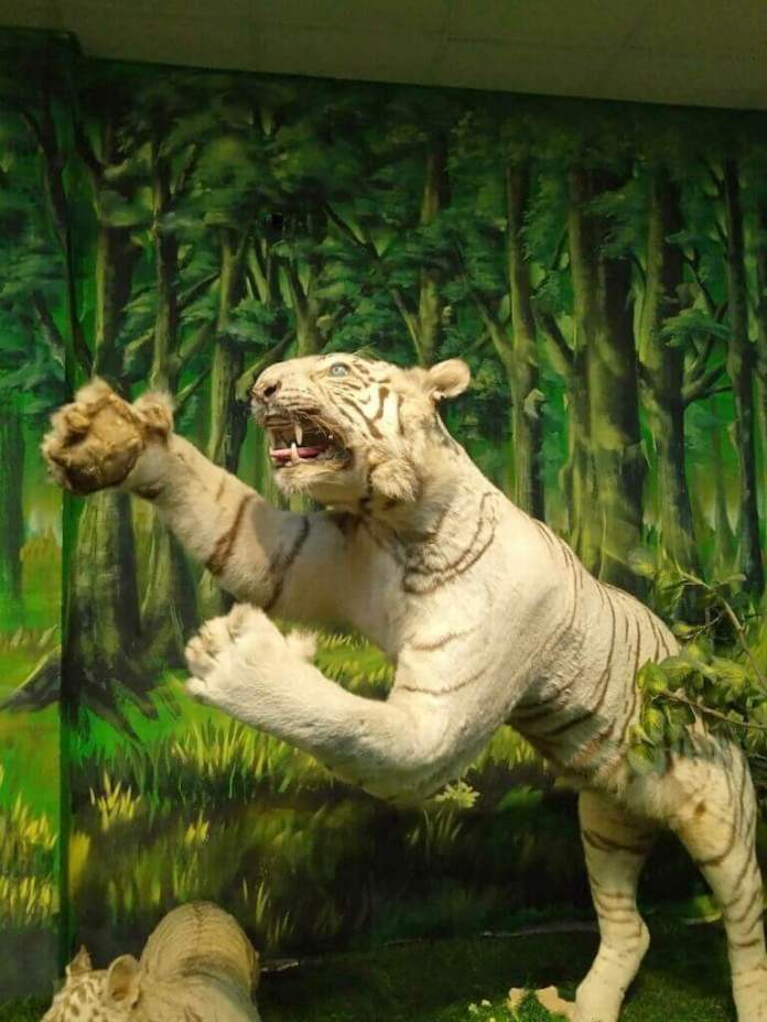 A white tiger sculpture in the museum at Saigon Zoo