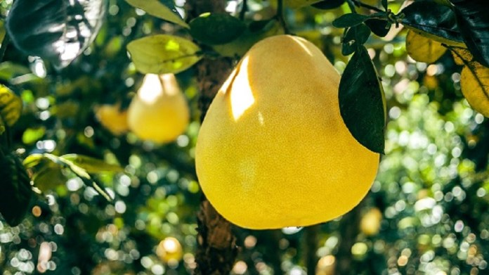 yellow pomelo on the tree