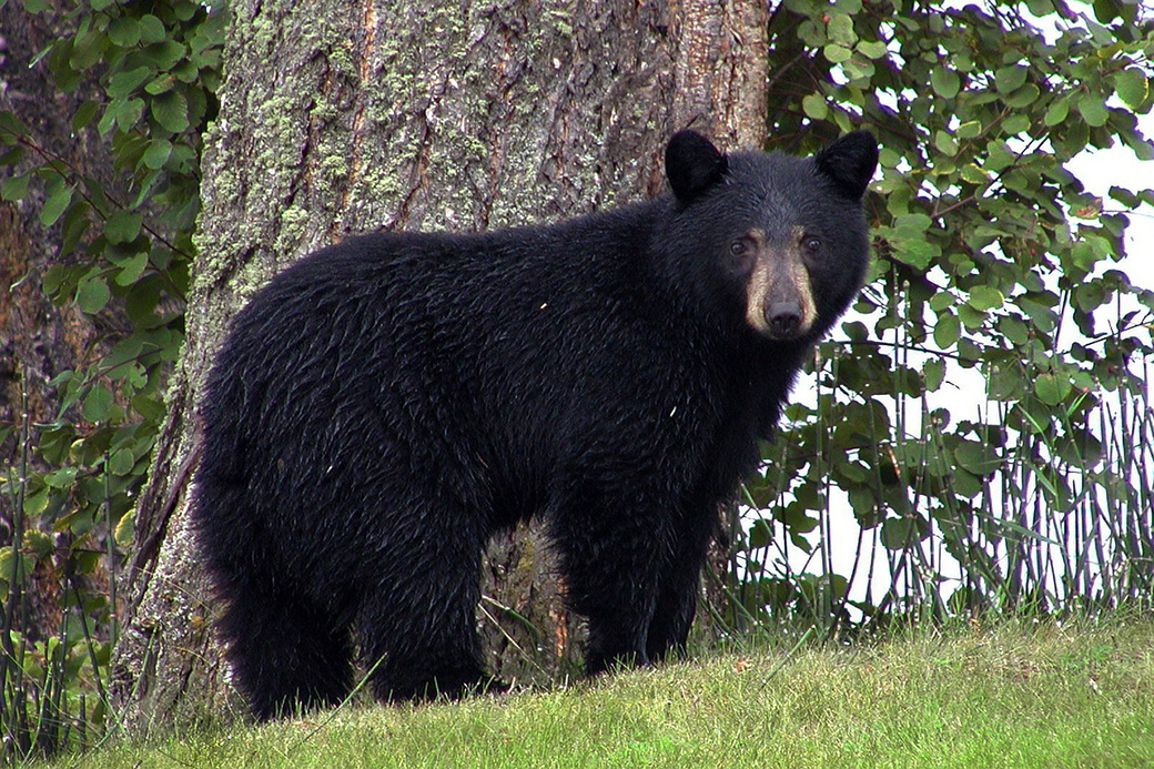 Police called after bear, cubs spotted near Brock High School
