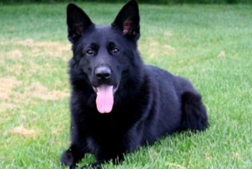 DRPS mourning death of Police Service Dog Havoc