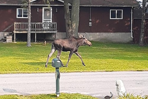 Moose on the loose in Pefferlaw