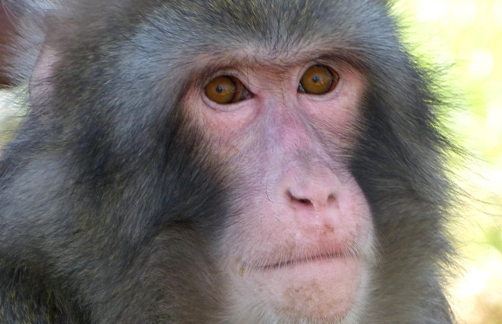 Darwin, the IKEA monkey, eight years later