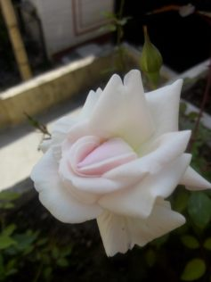 In adolescence, its still a bud but also flower.