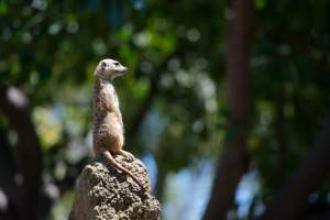 meerkat standing on gray stone selective focus photography