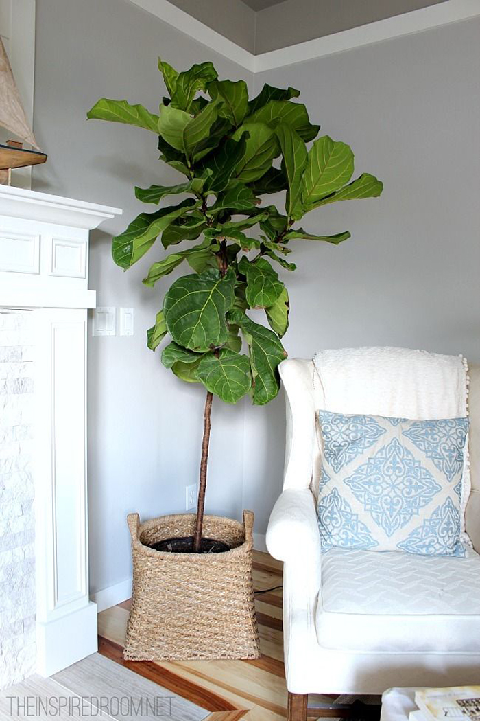 Interiors Amp Exteriors Fiddle Leaf Fig The Brunette One
