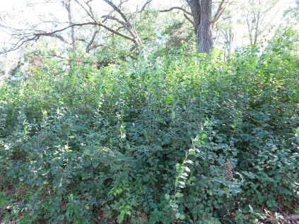 Here are a couple examples of how thick the buckthorn was becoming.
