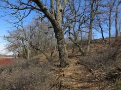 Huge oak cleared!