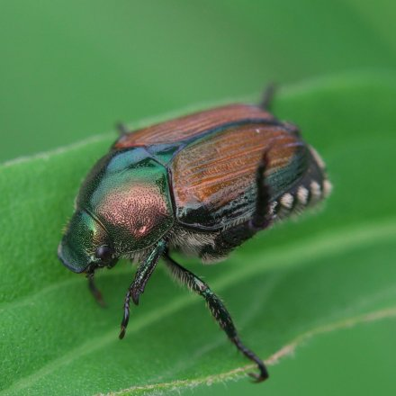 Japanese beetle control methods