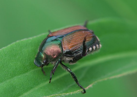 Japanese beetle control methods