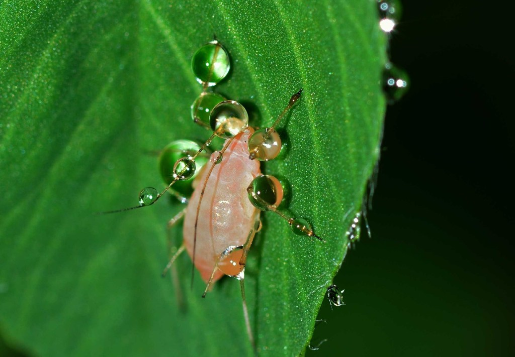aphid on a leaf