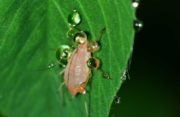 aphid on a leaf