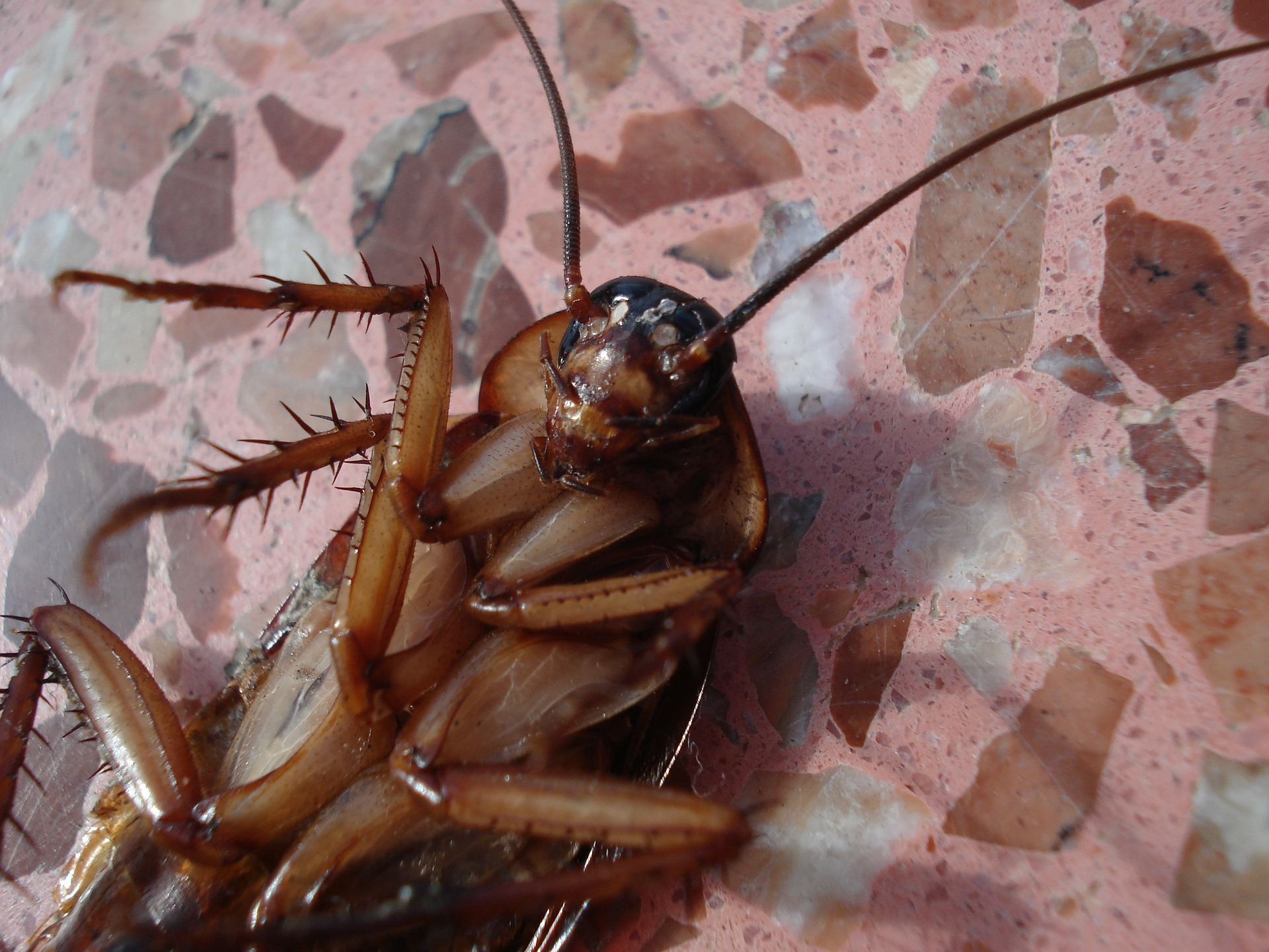 neem oil for cockroaches