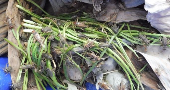 4 conseils pour améliorer votre élevage de grillons
