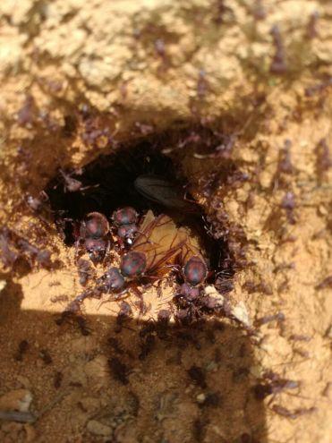 harvesting hormigas culonas