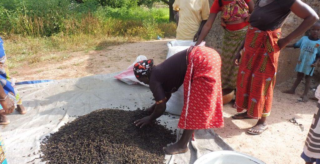 Comment récolter et préparer les chenilles de karité