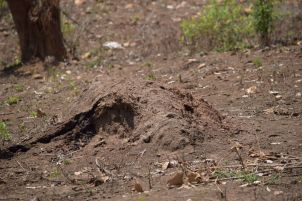 soldier termites mound