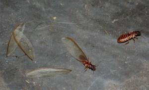 termites ailes