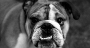 agressive bulldog